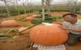 Vườn bí ngô cho trái khổng lồ