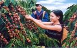 Đăk Lăk tìm cách đòi lại thương hiệu cà phê từ Trung Quốc