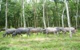 Dự án chăn nuôi bò sinh sản đạt hiệu quả cao