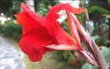Bình dị như hoa huệ chuối