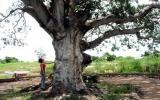 Cứu sống cây xoài 300 tuổi già nhất Bạc Liêu