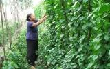 Nông dân Phú Mỹ (TX.TDM): Thành công với mô hình trồng cây lá vang