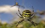 Vì sao nhện đen ăn thịt bạn tình?