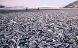 Cá chết la liệt trên bờ biển Na Uy