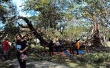Đổ cây cổ thụ, 9 học sinh bị thương