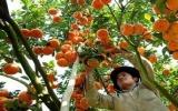 Quýt hồng Lai Vung không đủ tiêu thụ vào dịp Tết