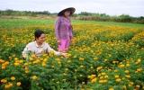 Sắc xuân bên làng nghề trồng hoa vạn thọ