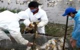 Cảnh báo nguy cơ dịch cúm A/H5N1 quay trở lại