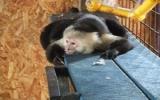 Những chú khỉ làm…nhân viên vệ sinh