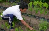 Nhiều nông dân khá lên với nghề làm cao su giống