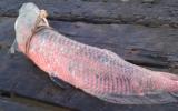 Bắt được cá rồng nặng gần 50kg
