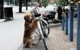 Chó trông xe đạp cho chủ nhân