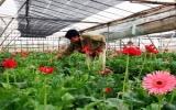 Thời tiết không ủng hộ người trồng hoa dịp 8-3