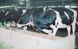 Các hộ chăn nuôi bò sữa ở xã Long Tân, huyện Dầu Tiếng: Làm ăn hiệu quả nhờ có tổ hợp tác