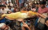 Con cá hanh vàng giá gần 800 triệu VND