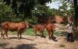 Hỗ trợ bò cho NKT mang lại hiệu quả tốt