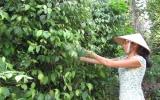 Tiếc nuối một vùng trồng tiêu