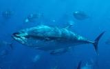 Cá ngừ mang phóng xạ từ Nhật sang Mỹ
