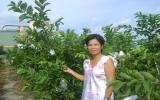 Ổi ngọt Đài Loan trên đất Bình Dương