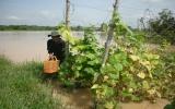 Huyện Tân Uyên: Mưa lớn ngập úng hơn 200 ha đất sản xuất nông nghiệp