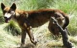 Chó hoang bắt bé chín tuần tuổi