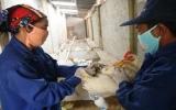 Công bố dịch cúm gia cầm H5N1 tại Điện Biên Phủ