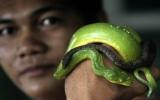 Kinh hoàng chàng trai sống chung cùng rắn độc