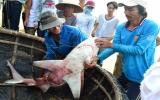 Xác định 3 loài cá mập cắn người ở biển Quy Nhơn