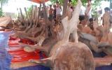 Chuẩn bị phục dựng bộ xương cá voi lớn nhất Đông Nam Á