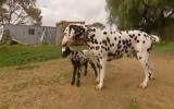 Chó đốm nuôi cừu đốm