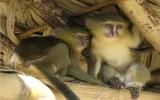 Loài khỉ mông xanh tuyệt đẹp ở châu Phi