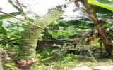 Buồng chuối trổ hơn 200 nải