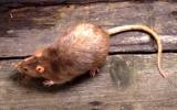 """""""Hạ"""" 60 con chuột, được thưởng 1 điện thoại di động"""