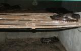 Hiệu quả từ mô hình nuôi rắn hổ nhện