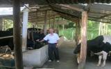 Thoát nghèo nhờ nuôi bò sữa