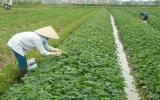 Nông dân phường Hiệp An (TP.Thủ Dầu Một): Chuyển hướng phát triển nông nghiệp đô thị