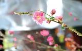 Hoa đào chữa bệnh