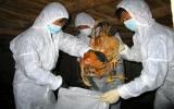 Ngăn chặn dịch cúm gia cầm lây lan trên người