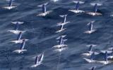 Phát hiện thú vị: Mực có thể bay trên mặt biển