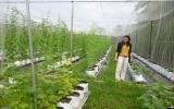 Sản xuất nông nghiệp công nghệ cao: Mô hình nhỏ, hiệu quả cao