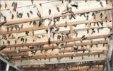 Khó kiểm soát nguy cơ cúm gia cầm từ chim yến