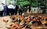Chưa phát hiện cúm H7N9 trên gia cầm ở Việt Nam