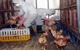 Dịch bệnh gia súc, gia cầm cơ bản được khống chế