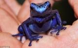 Lần đầu ấp thành công trứng loài ếch xanh hiếm, cực độc