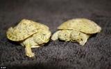 Rùa 2 đầu xuất hiện ở Mỹ