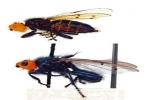 Loài ruồi ăn xác chết tái xuất
