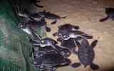 Gần 170 rùa biển quý hiếm nở tại Quy Nhơn