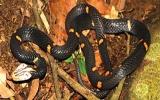 Phát hiện loài rắn độc mới ở VN
