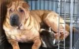 Chó chưa sinh con cho mèo bú sữa