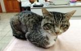 Chú mèo sống sót kỳ diệu dù bị mũi tên xuyên ngang người